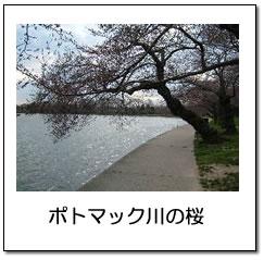 ポトマック川沿いの桜